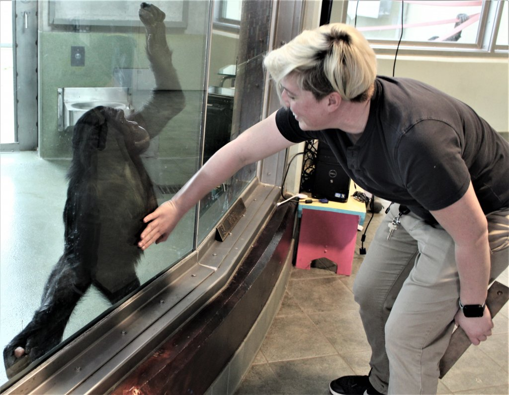 """Bonobo gets a """"tummy rub"""" through a glass window from a woman who put her hand on the glass over the ape's middle at the Ape Initiative in Des Moines."""