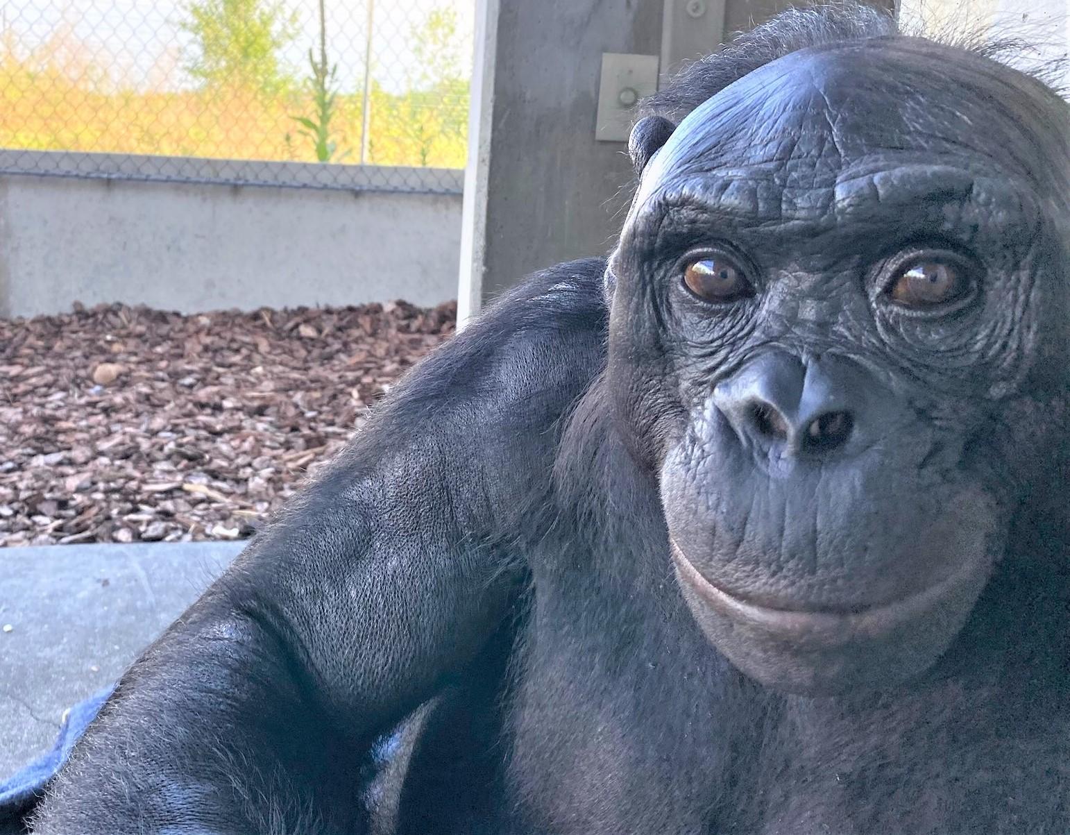 Kanzi, the world's most famous bonobo, turns 40