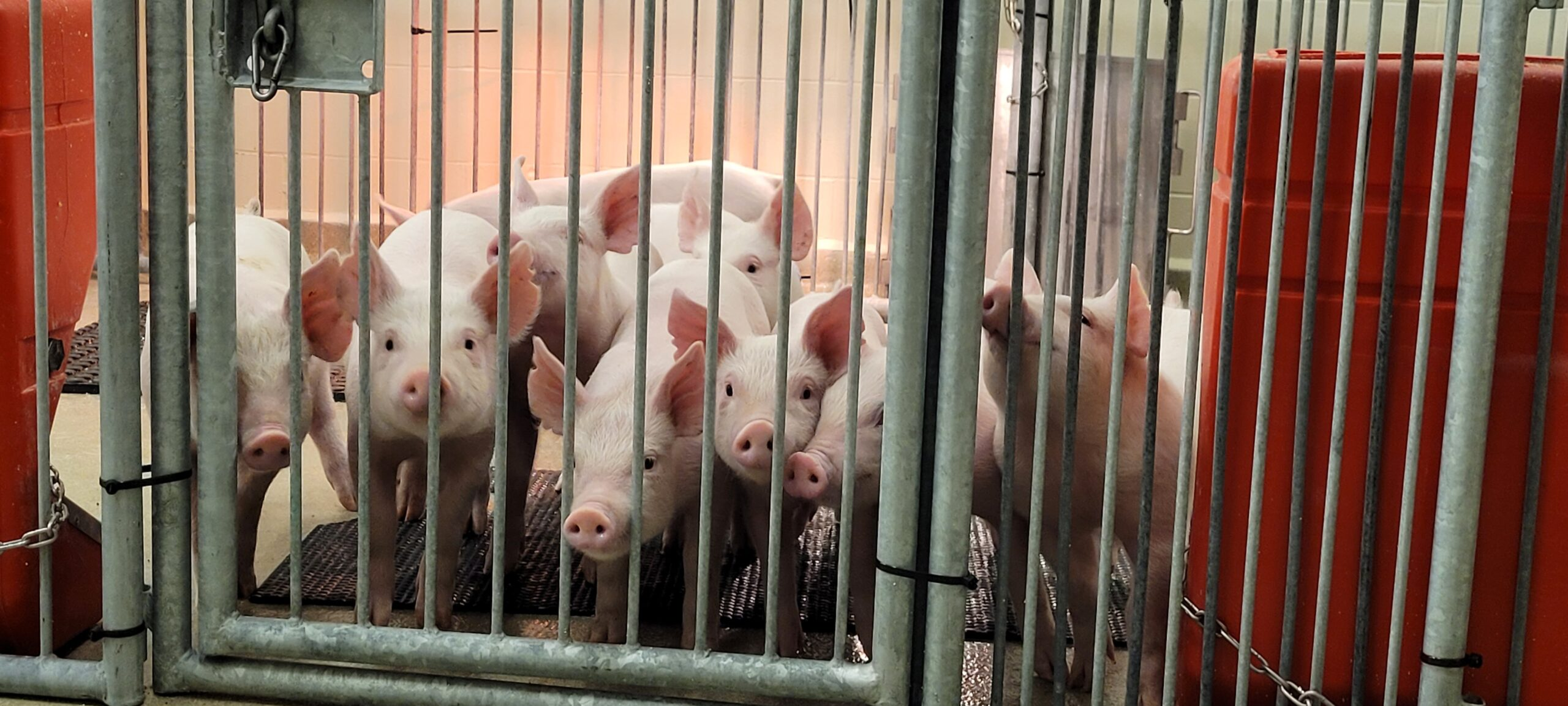 We're creating 'humanized pigs' in our ultraclean lab to study human illnesses and treatments