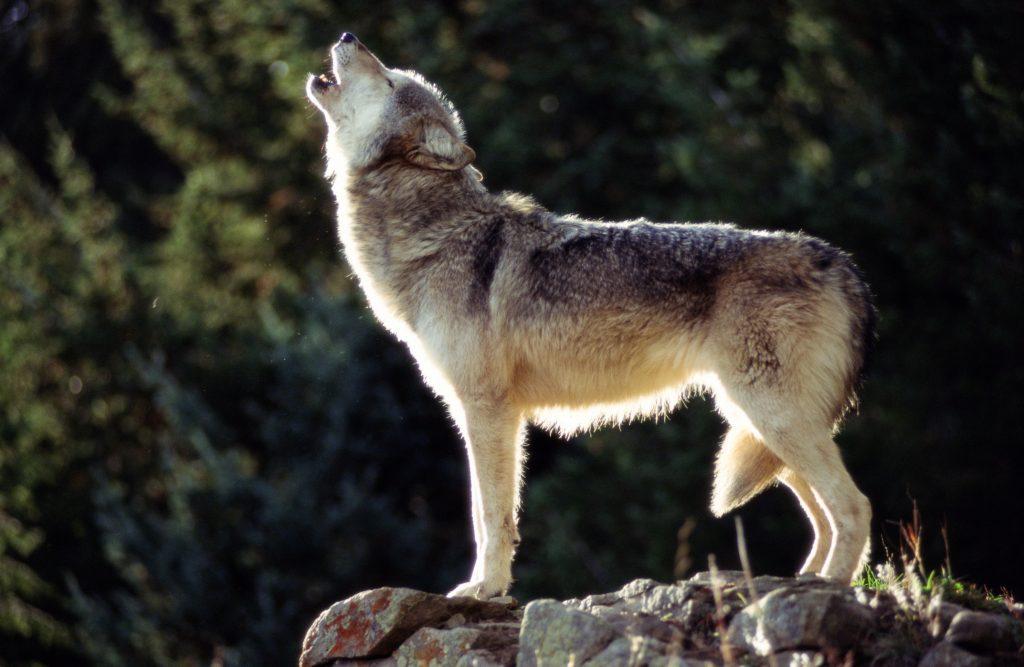 Biden administration mum so far on returning gray wolves to endangered species list