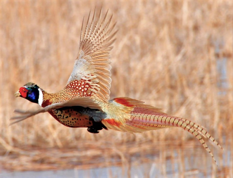 DNR: Pheasant season could be second-best in 12 years