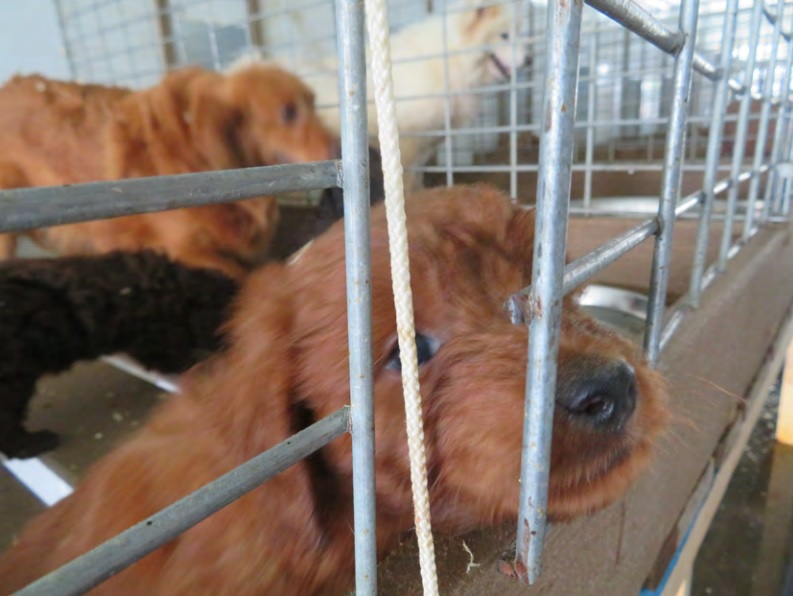 Puppy mill operator misses court deadline for disclosing animals' location